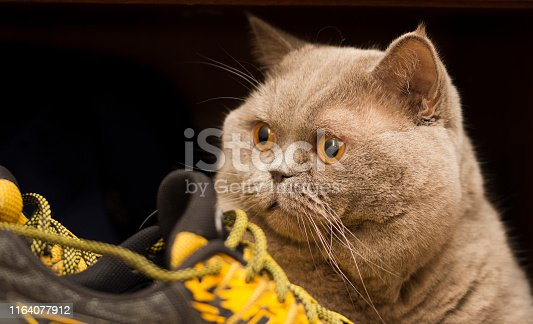 istock Scottish cat and yellow sneakers. Sport and laziness concept 1164077912