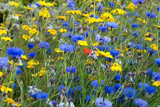 Scottish Cornflowers stock photo