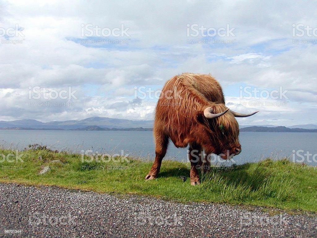 스코틀랜드 Cow royalty-free 스톡 사진