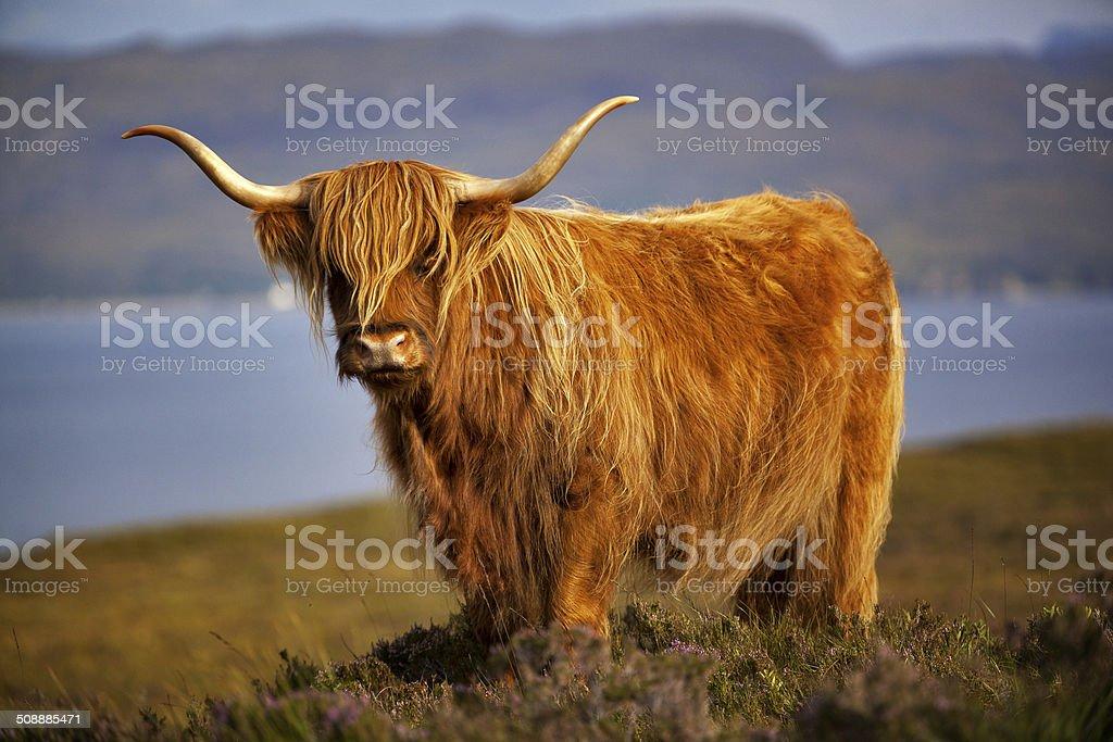 Scottish vaches III - Photo