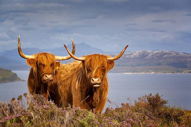 Scottish Cows IV Isle of Skye, Scotland scottish highlands stock pictures, royalty-free photos & images