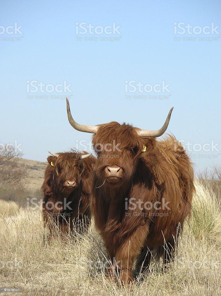 scottish cows stock photo