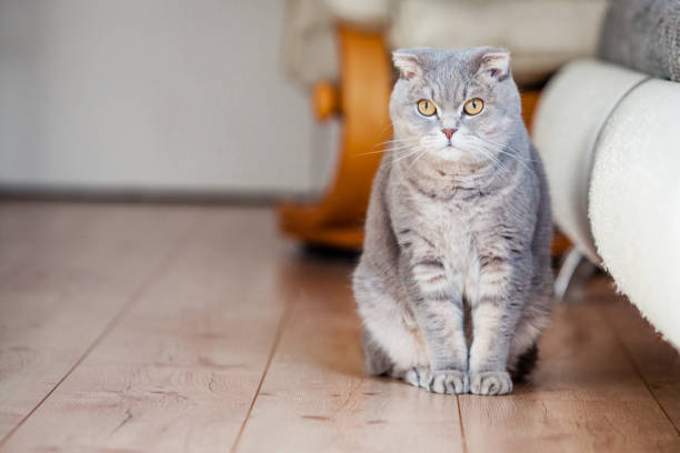 Best Scottish Fold Cat Stock Photos Pictures Amp Royalty