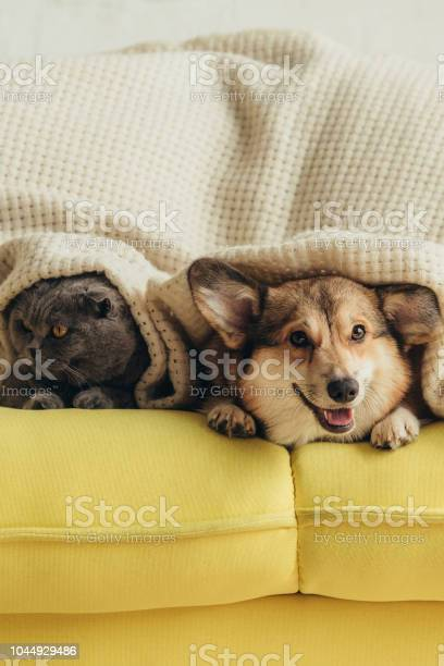 Scottish fold cat and welsh corgi dog lying under blanket on sofa picture id1044929486?b=1&k=6&m=1044929486&s=612x612&h=x tt96fgaabuegtole9skccd qcqmjejbrln9qhacgg=
