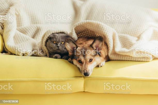 Scottish fold cat and welsh corgi dog lying under blanket together on picture id1044929536?b=1&k=6&m=1044929536&s=612x612&h=owfjlam86h 4bfgbzxzv7v2bjf6qfueyffqdp6s6ooi=