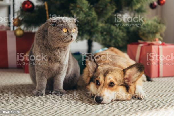 Scottish fold cat and welsh corgi dog under christmas tree picture id1044927676?b=1&k=6&m=1044927676&s=612x612&h=hlmwqmpy0 asik7zeold2qyuvxupf ux8dtuycmx8vo=