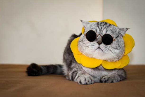 Scottish fold cat are wear sunglass and sunglasses picture id1144495725?b=1&k=6&m=1144495725&s=612x612&w=0&h=tlcs2qum3uky7m d7tbl3ux0cycnrqtmicatwmpyc5m=