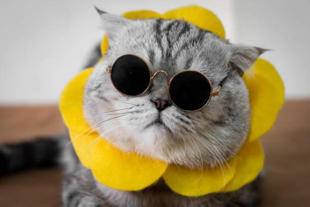 Scottish fold cat are wear sunglass and sunglasses picture id1144495731?b=1&k=6&m=1144495731&s=612x612&w=0&h=6vexh0ce4wjmnul8o48phh myplwzdlmk az0jb9tvo=