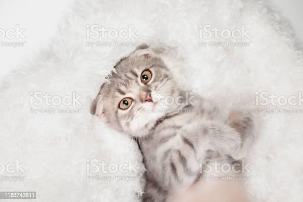 Scottish fold cat breed age 3 months little scottish fold cat cute picture id1183743811?b=1&k=6&m=1183743811&s=612x612&h=pa4cpmoy4z8ljiunhztjszeoyndykbdhgzf4dmsfzxo=