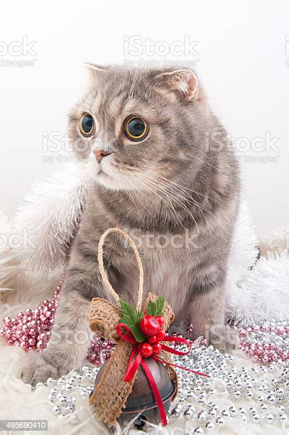 Scottish fold cat breed with christmas toys picture id495690410?b=1&k=6&m=495690410&s=612x612&h=4wnhgnbvcggv 7mefb6yp3tn7qhe tlhn kjf3gnlq4=
