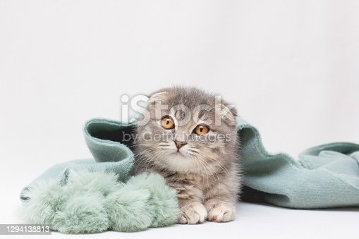 istock Scottish Fold cat is looking away on a white background 1294138813