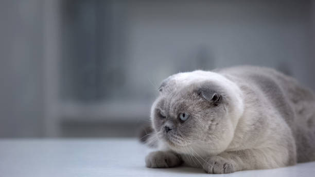 Scottish fold cat lying on table at home preparing to jump hunting picture id1175585126?b=1&k=6&m=1175585126&s=612x612&w=0&h=1hqry tmwldtwa gy0nu8wbhqgj461vksdn4gedaonk=