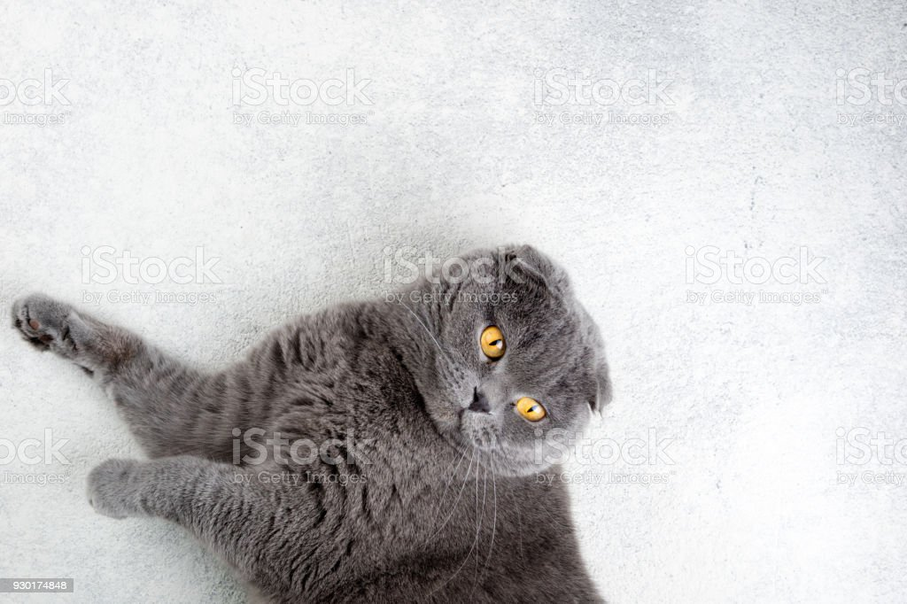 Scottish fold cat lying on white background. Banner with cat. Copy...