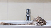 Scottish fold cat lying relaxed in the sink. Photo.