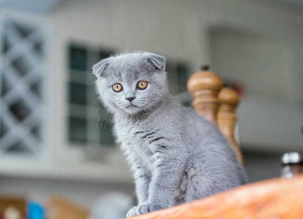 Best Scottish Fold Cat Stock Photos, Pictures & Royalty-Free