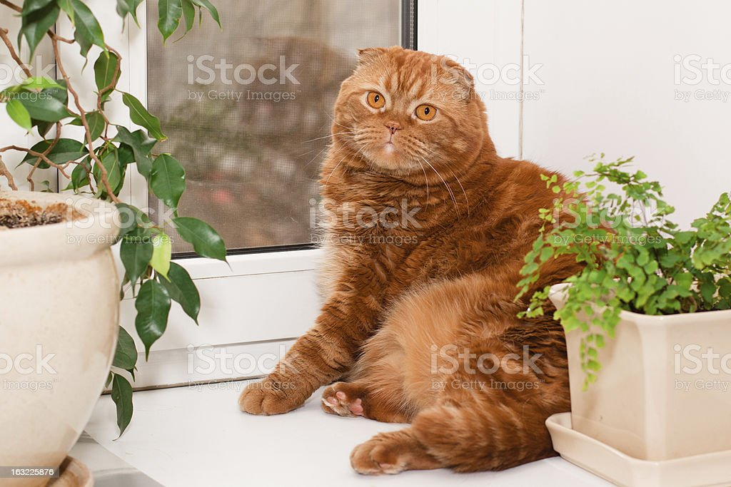 Scottish fold cat royalty-free stock photo