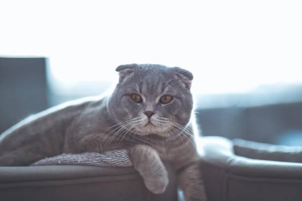 Scottish fold cat picture id640356244?b=1&k=6&m=640356244&s=612x612&w=0&h=rwwlyerr7txkv3sekwaeygnug0lrmjhckvdaelrx434=