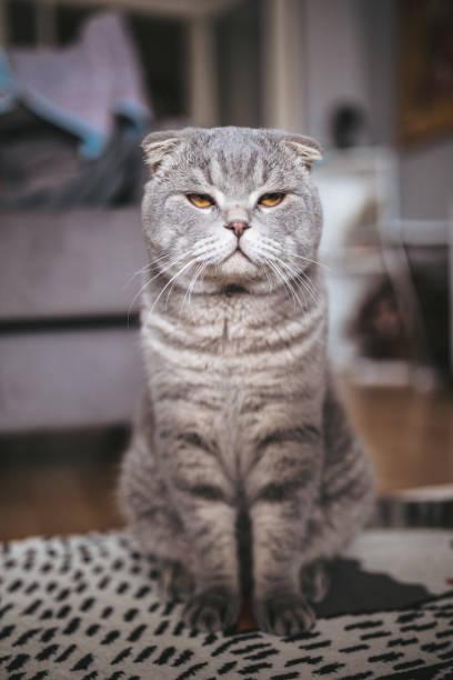 Scottish fold cat picture id640356420?b=1&k=6&m=640356420&s=612x612&w=0&h=d 1y1qgwkpwemysm03gjaq4a5915c1voqax5si7hb3u=