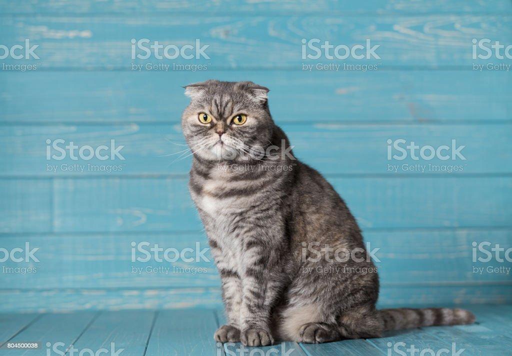 Gato Fold escocés. - foto de stock