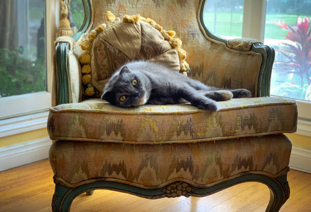 Scottish Fold cat relaxing on antique chair near window stock photo