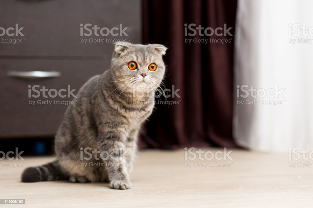 Scottish Fold cat sitting on the floor with an inquisitive look stock photo