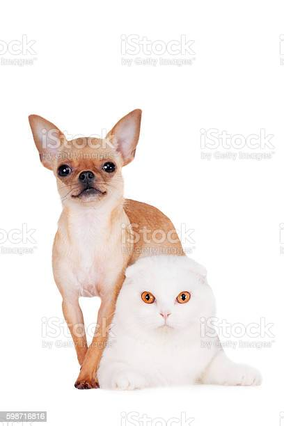 Scottish fold cat with chihuahua on white picture id598716816?b=1&k=6&m=598716816&s=612x612&h=tvfpd4anj3gj mddcnpyzktk9wn u50tewqpmoyczny=