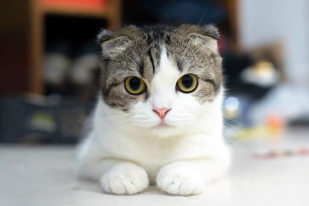 Scottish fold cute cat picture id682124254?b=1&k=6&m=682124254&s=612x612&w=0&h=dwwxauzqiu6snwmbjzx4an7x xcqjvcvw9x xxrzg7w=