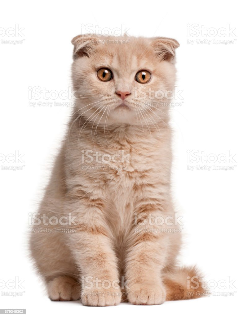 Scottish Fold Kitten, 1 months old, sitting in front of white background stock photo