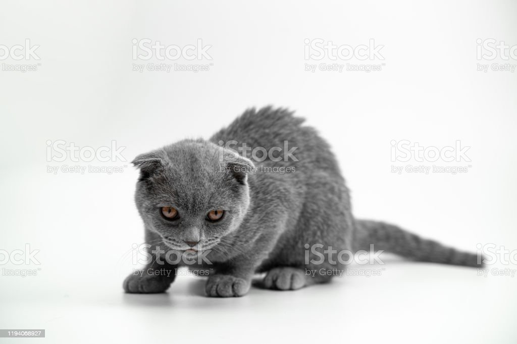 Scottish Fold Kitten 5 Months Old Standing In Front Of White Background Stock Photo Download Image Now Istock
