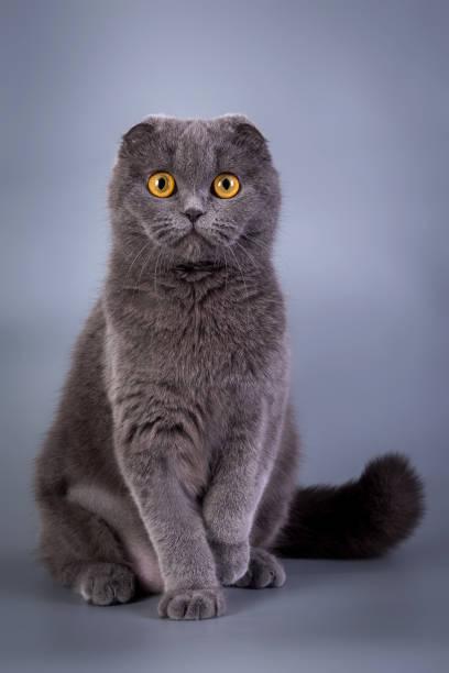 Scottish Fold kitten blue color stock photo