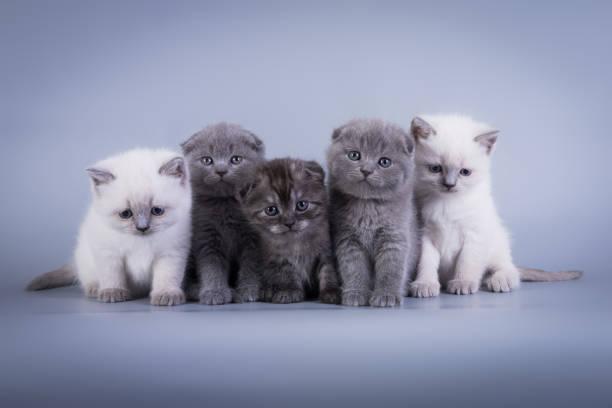 Scottish fold kitten blue color picture id671806458?b=1&k=6&m=671806458&s=612x612&w=0&h=zcwd9ccgzjsowx8mwb5ljvz oa 0hxrumhlp r1kuae=