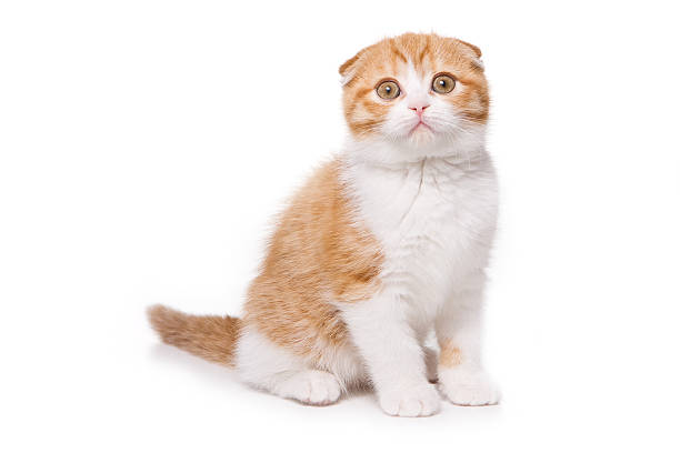 Scottish Fold kitten on white background Scottish Fold kitten on white background scared cat stock pictures, royalty-free photos & images