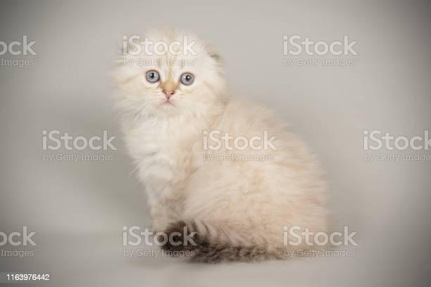 Scottish fold longhair cat picture id1163976442?b=1&k=6&m=1163976442&s=612x612&h=7nnm4wloupvhuh1alye4pimqt 5 fozu2ahft9elwny=