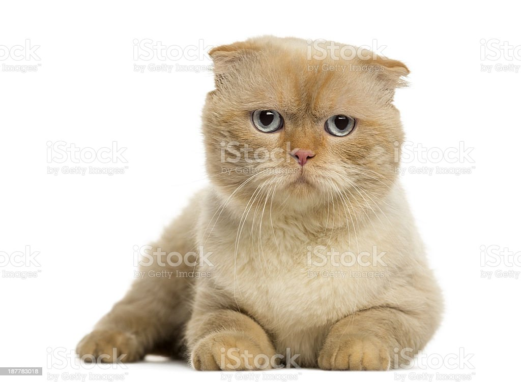 Scottish fold lying, looking at the camera, isolated on white stock photo