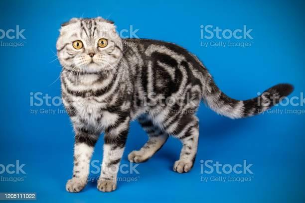 Scottish fold shorthair cat on colored backgrounds picture id1205111022?b=1&k=6&m=1205111022&s=612x612&h=vxvujpcfqvzeswl19npg7mr3ylzaw36ydqbmyqv ltu=