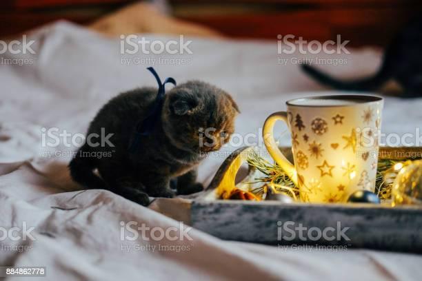Scottish fold shorthair cat on the bed baby kitten admiring christmas picture id884862778?b=1&k=6&m=884862778&s=612x612&h= kqo czq9hkygfpphbn5 yqxzcj9x8 hjjihbv vahs=