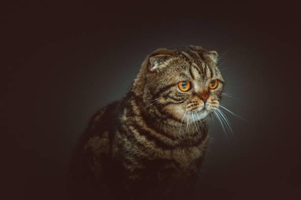 Scottish Fold Shorthair cat stock photo