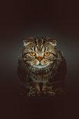 Purebred Scottish fold shorthair cat posing. Studio shot.