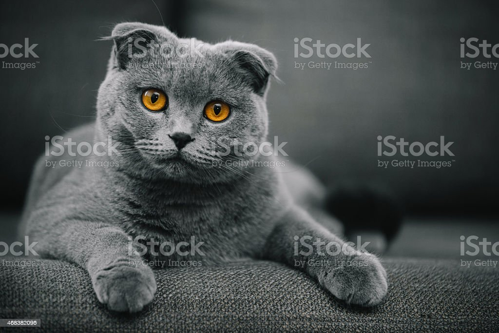 Scottish Fold Shorthair cat resting on chair stock photo