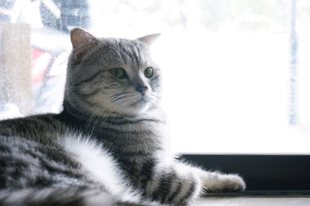 Scottish fold tabby cat with lay near the glass door with bright picture id1237036290?b=1&k=6&m=1237036290&s=612x612&w=0&h=vocj5jklltvxyzjjtef4cv7xustoh zt6 acjkiqdsw=