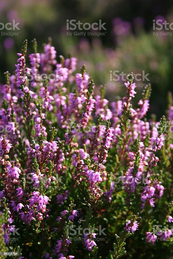 Scottish heather royalty-free stock photo