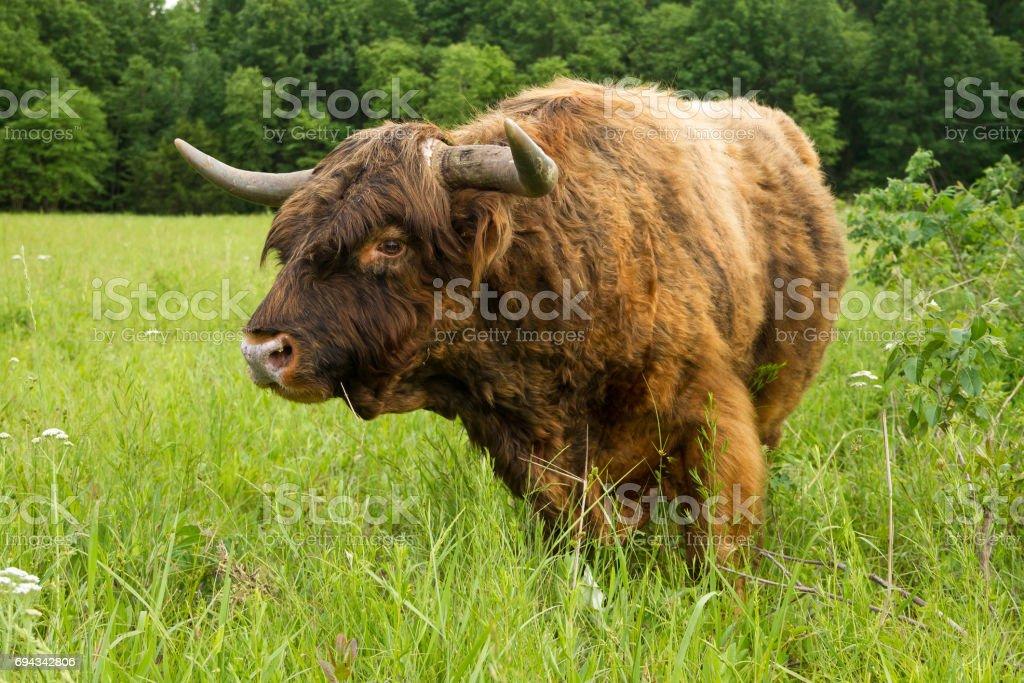 Scottish Highland Bull stock photo