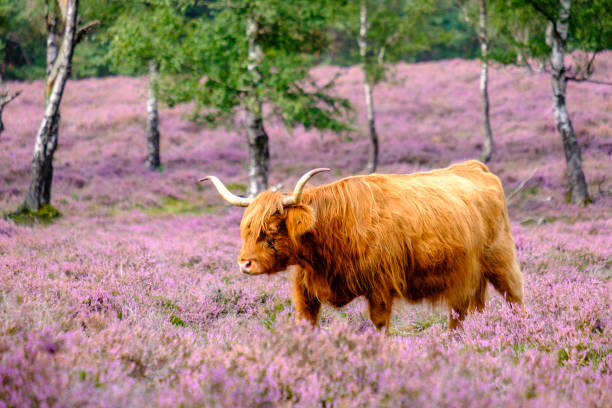Scottish Highland cattle in a blooming heather field during a summer day stock photo