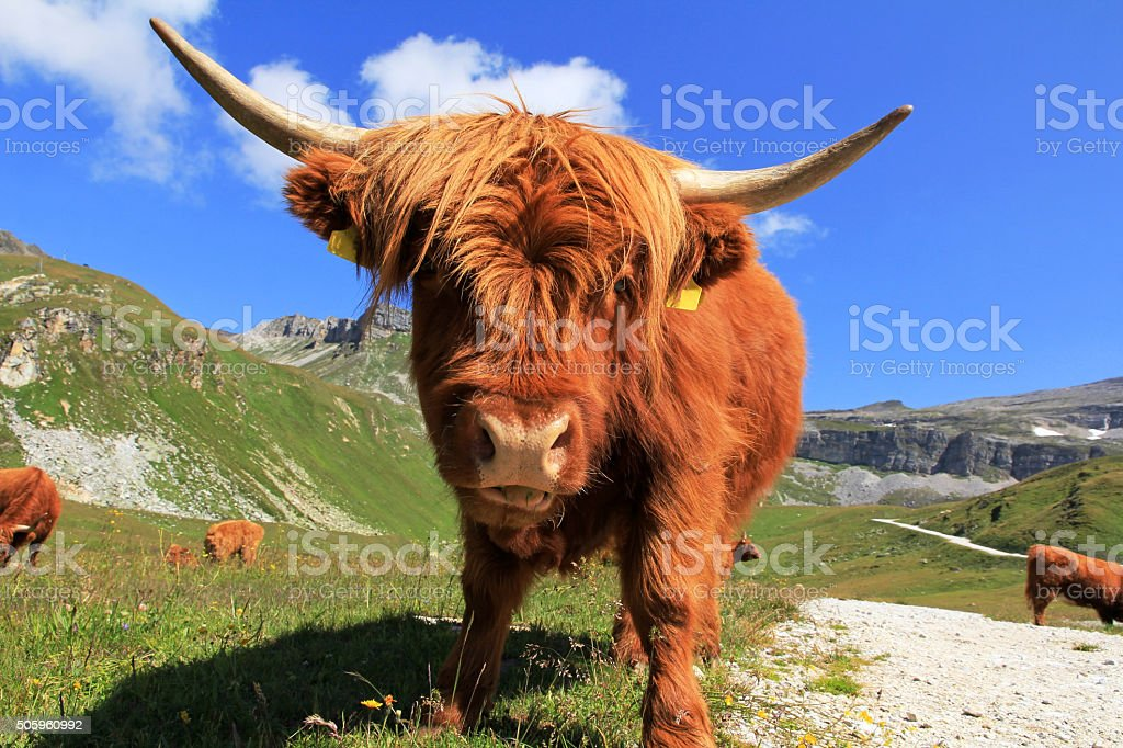 Scottish Highland cattle in the mountains stock photo