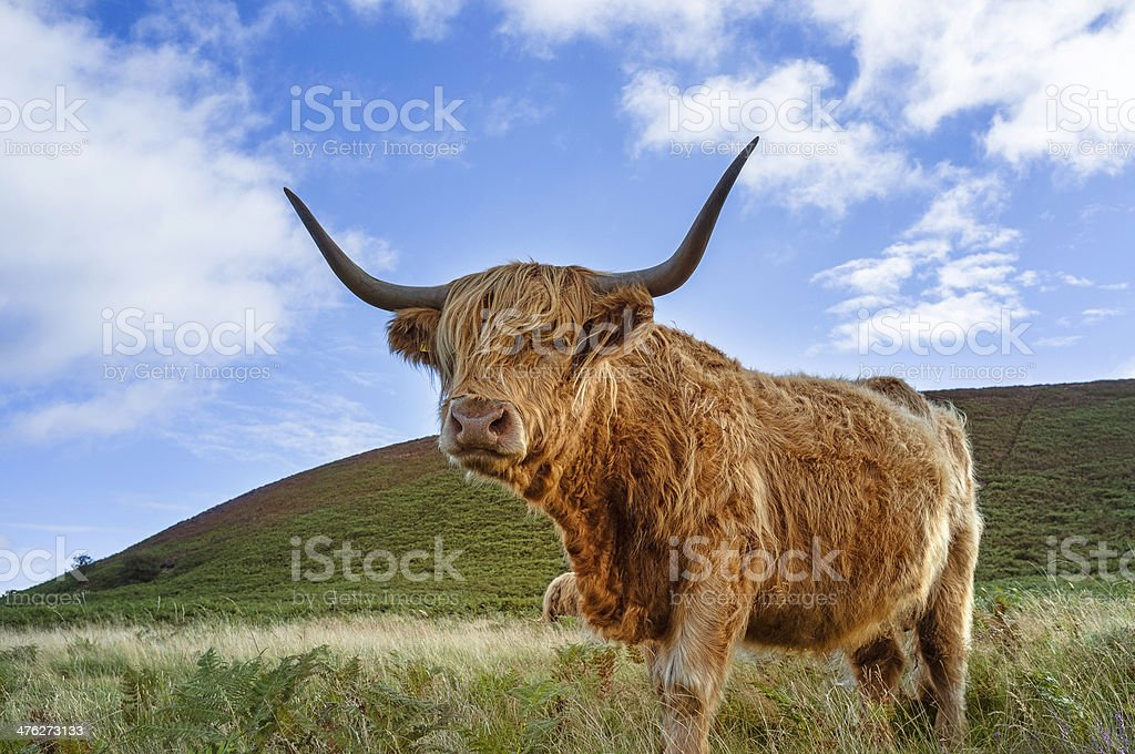 Scottish Highland cattle, North York Moors, Levisham, Yorkshire, UK. stock photo