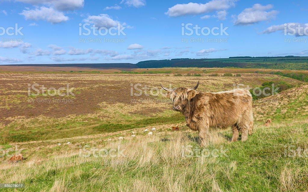 Scottish Highland, cattle, North York Moors, Yorkshire, UK. stock photo