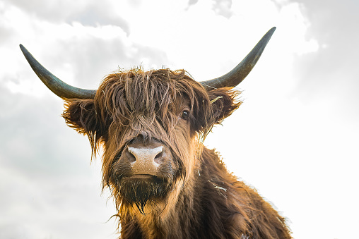 Scottish Highland Cattle On A Farm Stock Photo - Download ...