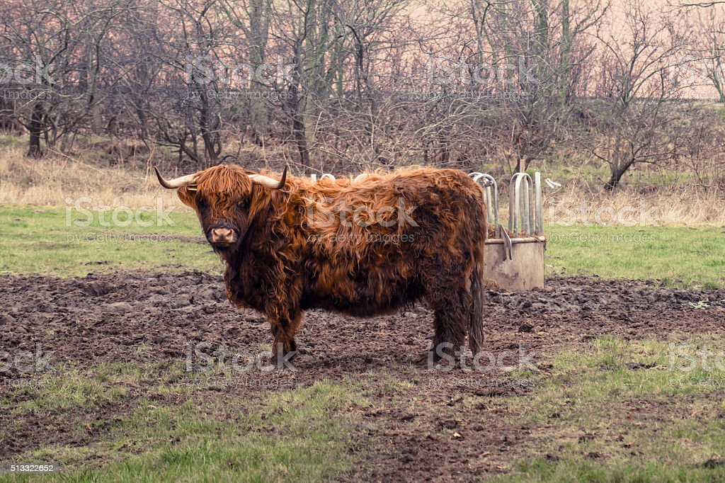 Scottish highland cow at a farm stock photo