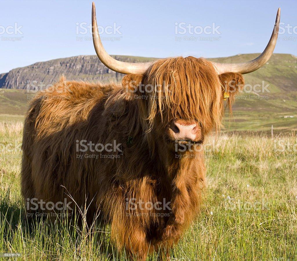 Шотландский highland ВОЛОВЬЮ КОЖУ Стоковые фото Стоковая фотография