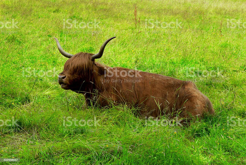 Scottish highland cow resting in the field stock photo